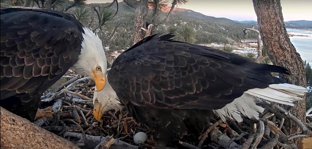 Bald eagle lays egg in Big Bear area as fans monitor via live web cam
