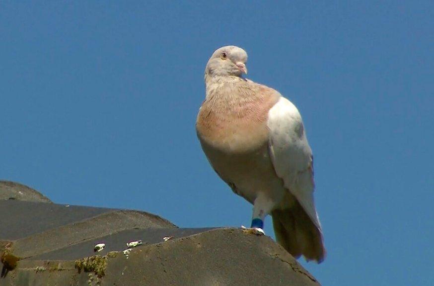 Joe the pigeon escapes death sentence in Australia