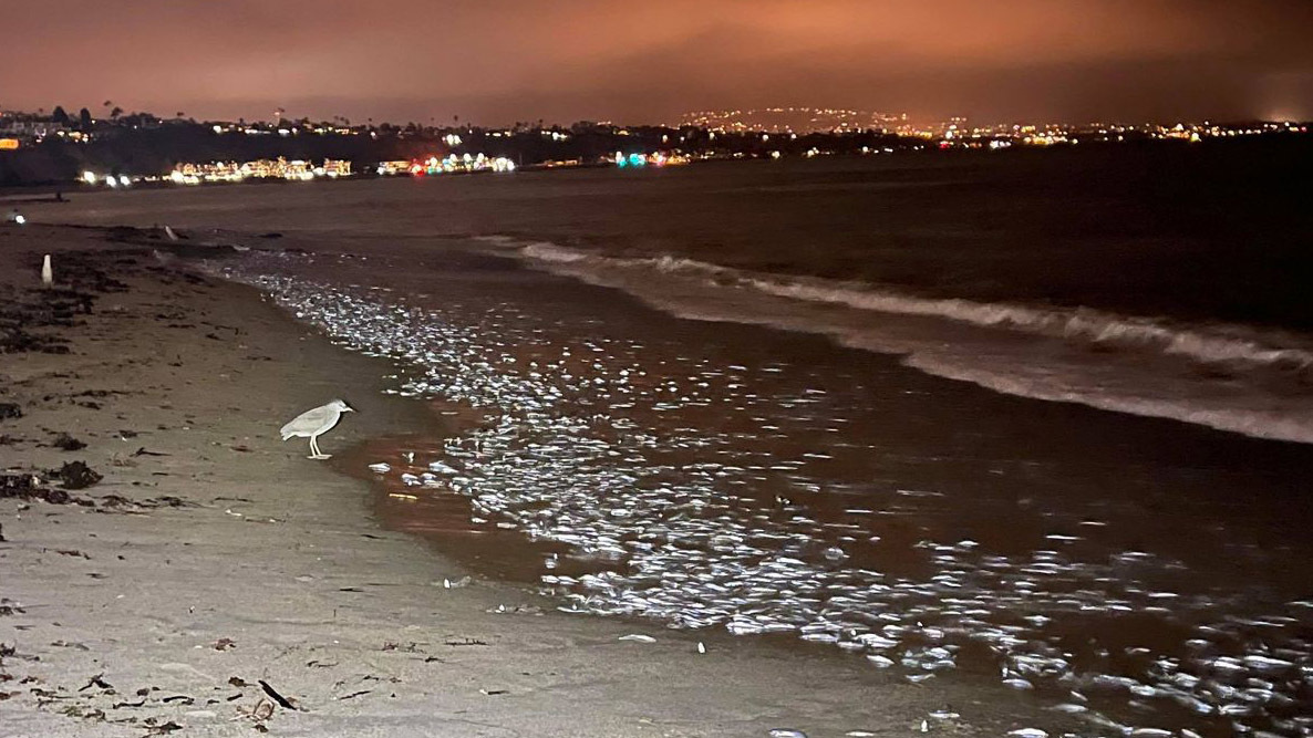 Grunion are running — and if you're lucky, you may see the Southern California phenomenon