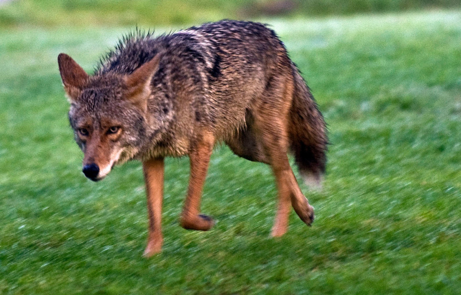 Learning to live with coyotes in Southern California