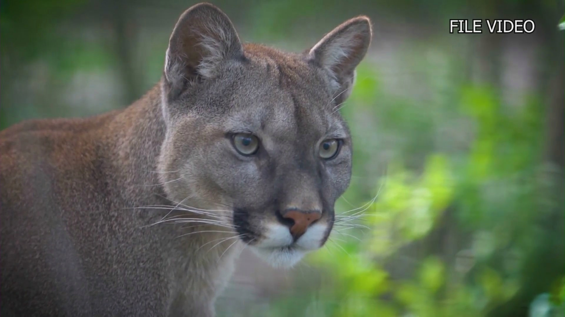 Mountain lion killed after attacking boy in Calabasas