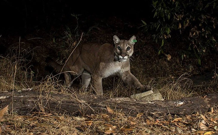 First mountain lion in California released back to wild found dead